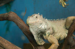 Iguana at Little Rays