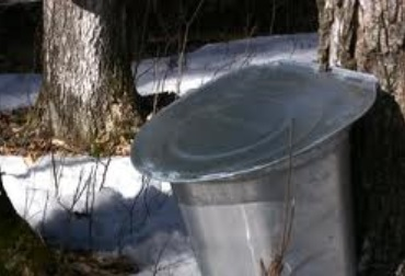Maple Tree Tapped for Sap