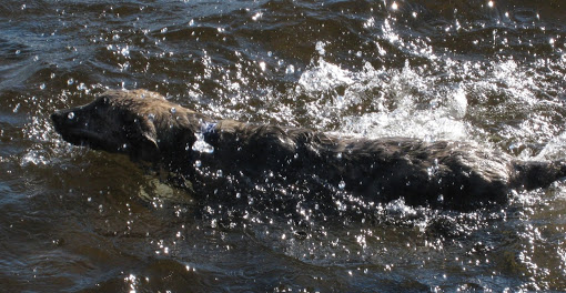 Dog Swimming in the Lake