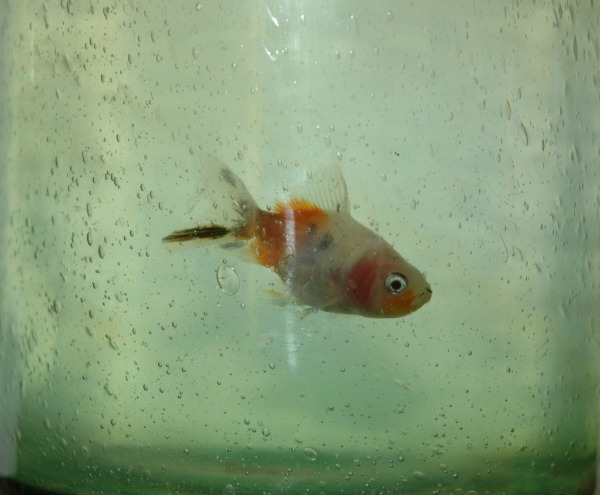 Bubba the Goldfish