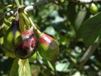 Fuerte Avocado Mexico