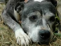Reina American Staffordshire Bull Terrier